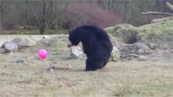 Medvede sa hrajú s balónom