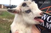 Zábavné kozy