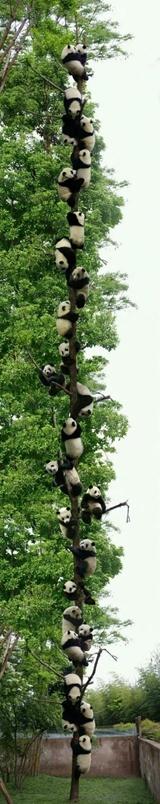 Pandy zjavne majú tento strom radi