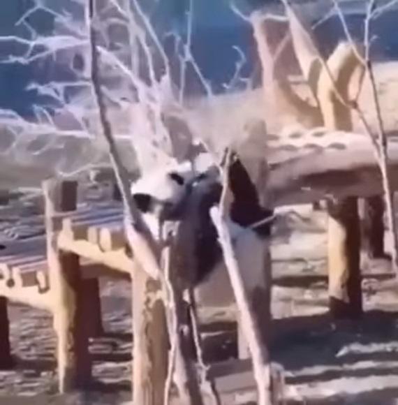 Ako to, že Pandy ešte nevymreli?