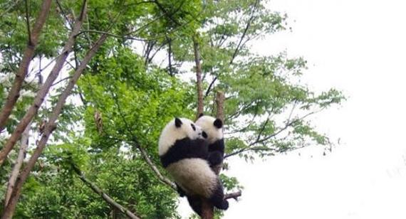 Videli ste už pandový strom?